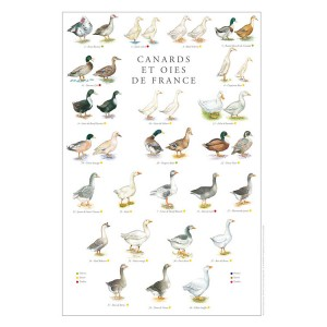 poster-oies-et-canards-de-france