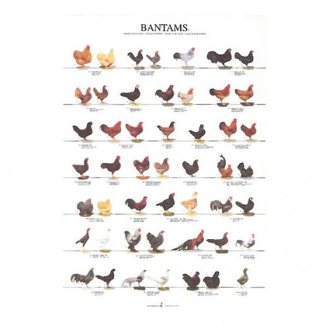 poster-poules-naines-2-68x98