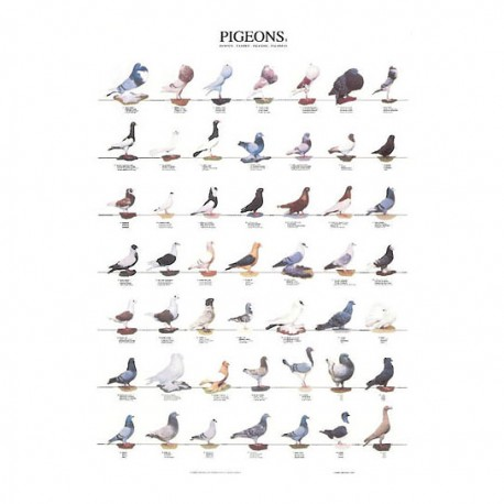 poster-pigeons-1-68x98