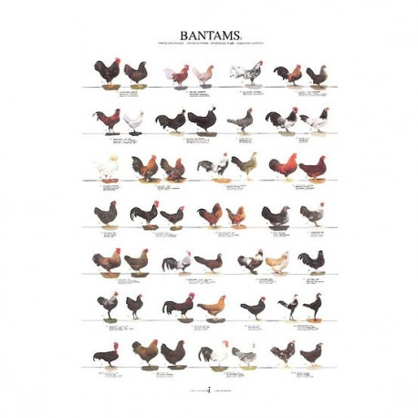 poster-poules-naines-1-68x98