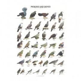 poster-pigeons-et-tourterelles-68x98